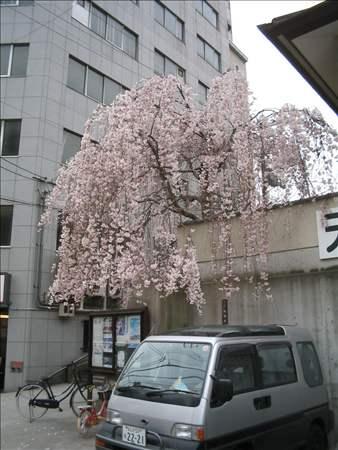 近所の枝垂れ桜
