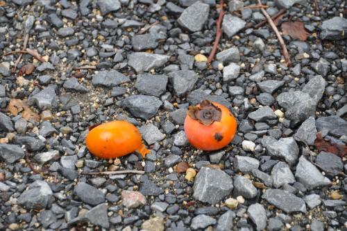 被害に遭った柿
