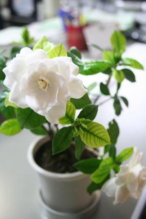 くちなしの白い花