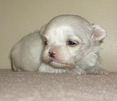 マルチーズ子犬
