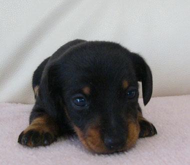 スムースダックス子犬