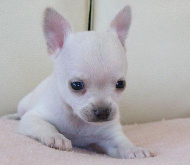 チワワ子犬