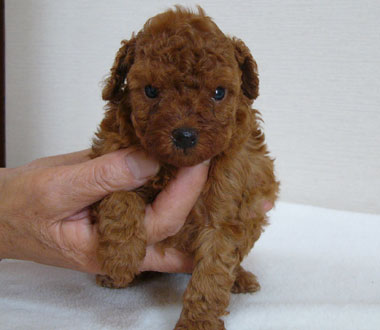 トイプードル子犬