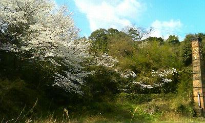 今年の我家の桜