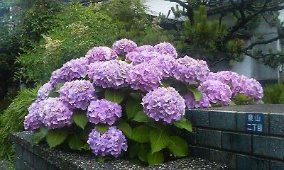 紫陽花5(20090621)