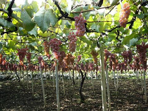 grape-007.jpg