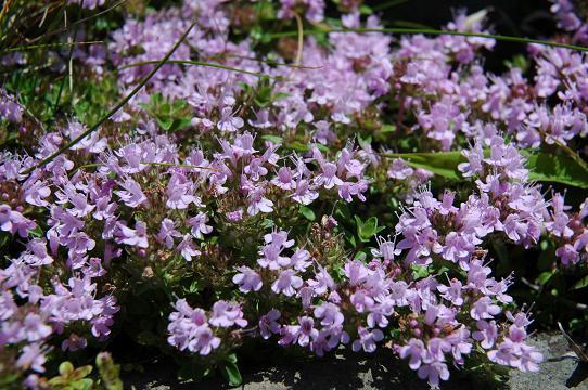 大野亀の頂上いたかわいい花