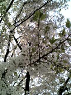(*^^)v桜(*^^)v