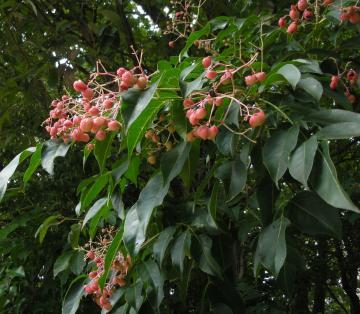 ゴンズイの果実