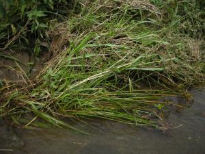 洗堀を防ぐ草の根