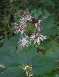カシワバハグマ(花)