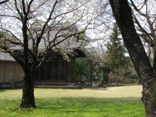 水前寺公園さくら