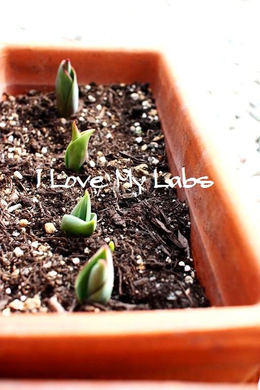 IMG_0315 (2) tulips