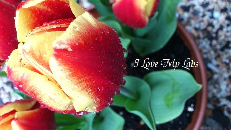 DSC_1852 (2)Tulip