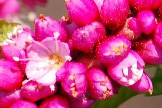 オオイヌタデの花