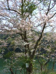 すっかり葉桜だよーw