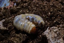ユーロミヤマ幼虫