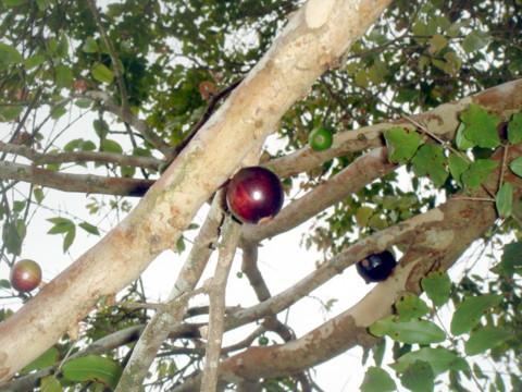 エキゾチックジャバティカバベリー
