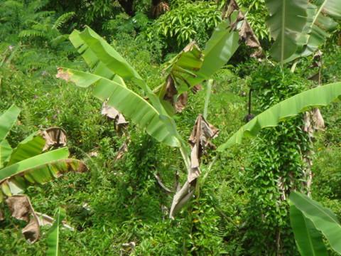 バナナの葉っぱ