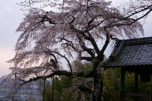 井出町地蔵院の桜