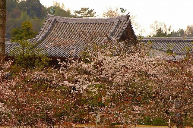 桜に包まれた平等院の屋根