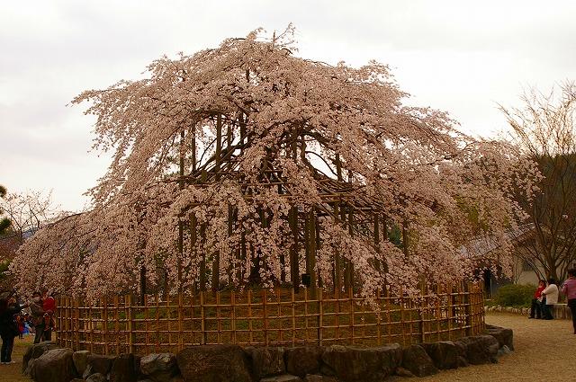 宇治川 しだれ桜