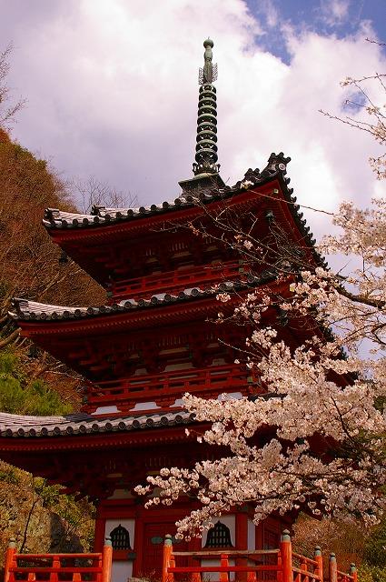三室戸寺塔と桜