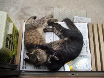 チビフサ子猫092 縁側抱き合う 幅350