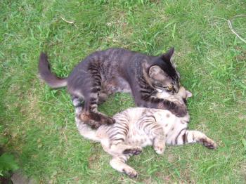 チビフサ子猫 004 白っちガブされ 幅350