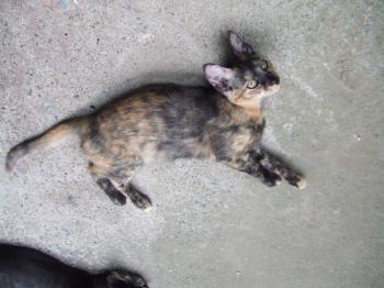 茶ゴロンして待つ・車庫・チビフサ子猫001幅350