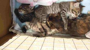 子猫箱で3匹重なり寝・真ん中白っち0890 トリミング上部幅350