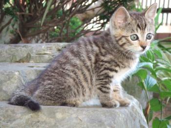 コチビ低い石おすわり横向・コチビ==ココチビフサ子猫041幅350
