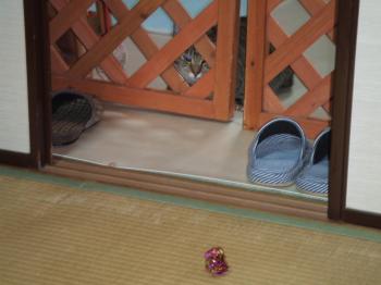 ミオ ドアの隙間からボール取ってとのぞく12-4068_幅350