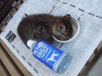 コチビペットボトルと。コチビ==ココ。子猫088_幅350