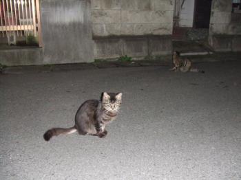 うちの前の道路で子猫フサ。後ろピョンかきかき4-1206141_幅350