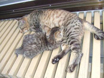 6-チビフサ子猫105 縁側コチビ手前左向き授乳・明るめ