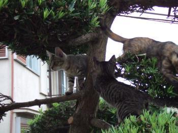 フサ子猫木登り、ミオ左向き5-1061_幅350