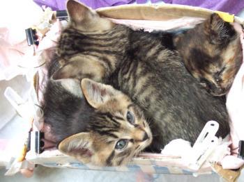 初のトイレに鮨詰めのフサ子猫5-0931_幅350