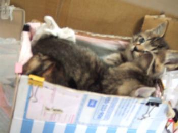 初トイレに折り重なるフサ子猫