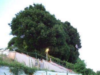 4-0597 猫エサ場の上の木 幅350