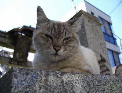 おとなしい神社猫11