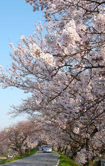 kasenjiki-sakura.jpg