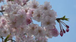 kiyosu-sakura.jpg