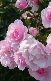 pink-rose-up.jpg