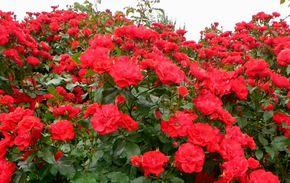red-rose-2.jpg
