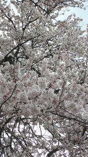 sakura-up.jpg