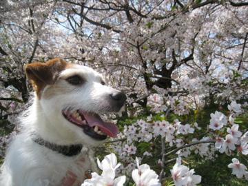 チッパー×桜