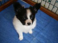 パピヨン子犬2