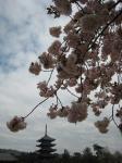 五重の塔と八重桜
