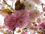 080420八重桜ウスピンク